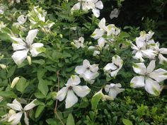 """August - Clematis 'Alba Luxuriens' is a rampant late season flowering Clematis with beautiful white flowers tinged with apple green. This twining climber will happily put on 8-10' of verdant growth from spring to summer so be prepared to be brutal in the spring and in January cut all of last seasons growth away to a pair of buds about 6"""" above the ground. This will ensure that when it flowers in August the blooms are at eye level where they can best be appreciated."""