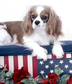 Cavalier King Charles is so patriotic