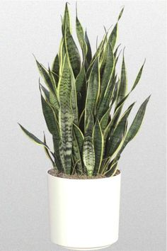 Top 7 Houseplants to keep house Cool Savvy home gardeners know that house plants add beauty and value to the indoors, but they might not know about the economical benefits of indoor plants. Best Indoor Plants, Cool Plants, Cactus Plants, Cactus Flower, Live Plants, Plantas Indoor, Easy To Grow Houseplants, Mother In Law Tongue, Sansevieria Trifasciata