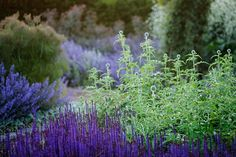 Home — Dan Pearson Studio | Salvia and globe thistles
