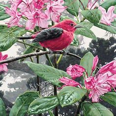 """Scarlet Tanager by Rod Frederick $190.00 SMALLWORK Giclee Canvas Image size: 8""""w x 8""""h.  Edition Size:75  shipping included in price"""