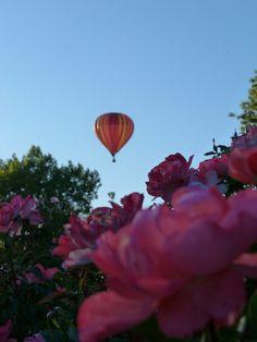 Sailing over a dream. Reinisch Rose Garden, Topeka, Kansas