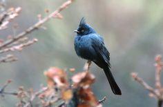 Phainopepla by Walter Kitundu. #birds