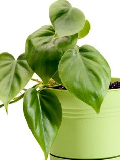 Although it seems backwards, this philodendron plant prefers to stay dry. Only water it once a week at most!
