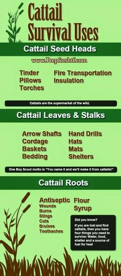 Cattail uses