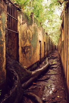 The abandoned prison complex on Isle St Joseph French Guiana where trees roots have made their escape