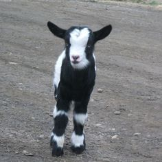 Goats for backyards and barnyards - Google Search