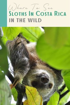 Wondering where to see sloths in the wild in Costa Rica? Look no further! This guide shares the best spots for seeing sloths in some of Costa Rica's most beautiful locations. #Sloth #CostaRica #ManuelAntonio #SlothSanctuary #CloudForest #Monteverde Costa Rica Sloth, Corcovado National Park, Hiking Tours, Nocturnal Animals, Monteverde, Costa Rica Travel, Sloths, Nature Reserve, Latin America