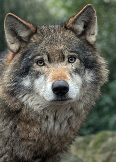 WOLF STOP KILLING WOLVES !