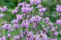 Phlomis Tuberosa brings multi-season interest to the garden, making it a valued perennial plant for the gardener. Garden Bulbs, Garden Plants, Drought Resistant Landscaping, Pink Perennials, Tree Identification, Tall Flowers, Gardening Magazines, Garden Spaces, Green Life