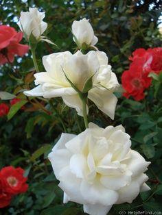 'Love Letter' – Lens (1980). Trosroos. Rijkbloeiend tot laat in de herfst. Dubbele witte tot roomwitte bloemen (7-9cm) met citroengeel centrum . Geurig. Gezond. H tot 80cm.