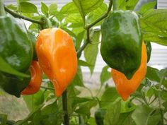 Planting habanero peppers can keep squirrels out of your garden, too...I am so trying this method this year!