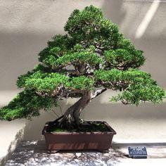 132 year old juniper bonsai