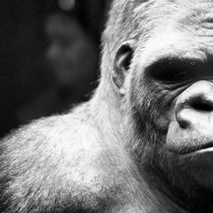 Extreme Close-Up Of Gorilla