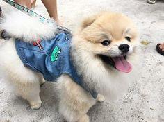 Weekend drink , eat and have fun at Kilo Camp Pets Event. 🐶🐾🐶. • • • • • #dogoftheday #picoftheday #pom #pompom #pomeranian #pomstagram #sgpomkakis #pomeraniaworld #alphaboy #mydog #doglover #thedailypompom #ilovemydog #instadog #dogsofinstagram #weeklyfluff #pomoftheday #smile #cutedog #dog #cutepetclub #puppyeyes #愛犬 #강아지 #강아지스타그램 #犬のいる暮らし #반려견스타그램 #개스타그램 #petstagram #dogofinsta