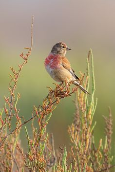The common linnet is a small passerine bird of the finch family, Fringillidae. It derives its scientific name from its fondness for hemp and its English name from its liking for seeds of flax, from which linen is made. Kinds Of Birds, Birds 2, Pretty Birds, Beautiful Birds, Linnet, Down On The Farm, Jolie Photo, Autumn Garden, Birds Eye View