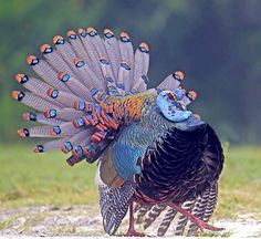 Oscellated Turkey ... why would hunters want to shoot this? Brainless dolts.