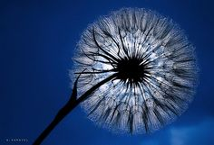 Dandelion blues by A. Karayel