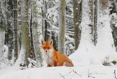 Fox in a forest, winter in Estonia, Europe
