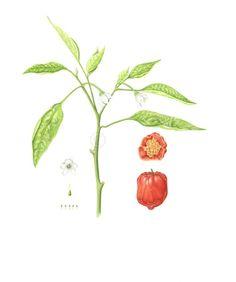 'Habanero Red' Pepper