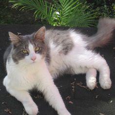 Adoptez /Adopt 3293 - Noa (Mâle, né approx. en décembre 2013 / Male, born approx. December 2013) #Adoptable #Cat #Chat #Montreal #Verdunluv http://www.refugechatsverdun.com/chats_a_adopter.html#3293