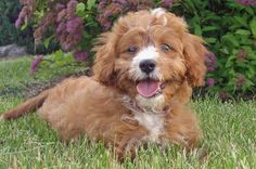 Oliver the King Charles Cavalier Spaniel/Poodle Mix. It's toooo much - cute overload!!!