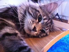 Maine coon - puppy