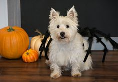 How to Make Your Own Spider Dog Costume Cute Dog Costumes, Dog Halloween Costumes, Costume Ideas, Spider Dog, Giant Spider, Diy Spider Costume, Halloween Spider Decorations, Scottie Dog, Dog Love
