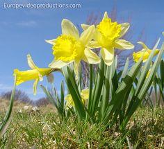 Flores silvestres en primavera en las montañas de los Vosgos en Francia