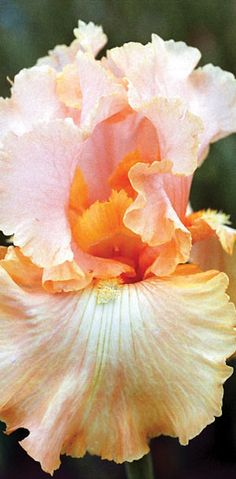 Peach and Apricot Bearded Iris