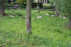 schapen overal kom je ze tegen