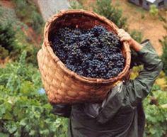 Vendimia La foto muestra al recolector de uvas cargando la cesta. Las uvas se recolectan manualmente y es una actividad muy laboriosa por lo que hay que tener sumo cuidado al ponerlas en la canasta. La canasta tapa el rostro del recolector para mostrar lo más importante... la cosecha. En el territorio argentino hay una fiesta nacional en la provincia de Mendoza. Es una actividad muy importante en toda la zona de Cuyo.
