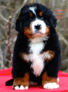 105 Best Bernese Images Bernese Mountain Dogs Mountain Dogs