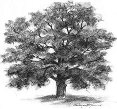 Oak Tree Outline Drawing