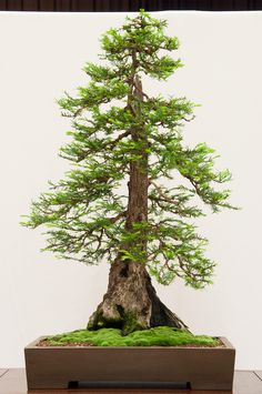 10 Redwood Bonsai Ideas Redwood Bonsai Bonsai Bonsai Art
