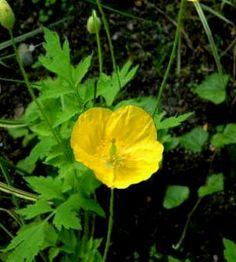 Flores ornamentales: Amapola galesa (Meconopsis cambrica)