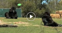 A couple of Australian comedians, Hamish & Andy, pulled a hilarious prank on the patrons of Werribee Open Range Zoo by dressing up in gorilla costumes and
