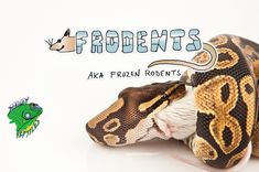 Why deal with the cost and hassle of feeder mice when you can buy frozen mice online? Find pinky, small, medium, and large adult feeder mice now available in Frodents (aka frozen rodents)!   #Frodents #BuyFrozenMiceOnline #BuyFrozenFeederMice #BuyFrozenMice #WhereToBuyFrozenMice #FrozenR