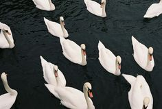 Swans // Valentines Day
