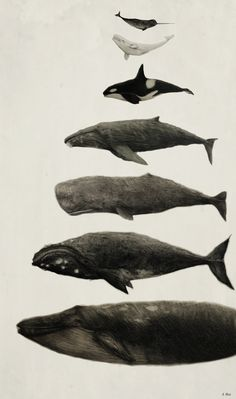 Whales. From top to bottom: Narhwal, Beluga Whale, Orca, Humpback Whale, Sperm Whale, Right Whale, and Blue Whale
