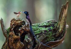 Paradise Flycatcher  /  サンコウチョウ