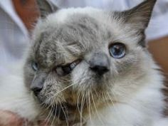 Now, 12 years after Marty Stevens rescued him from being euthanized because of his condition, the exotic blue-eyed rag doll cat is not only thriving, but has also made it into the 2012 edition of Guinness World Records as the longest-surviving member of a group known as Janus cats, named for a Roman god with two faces.