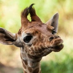 The perfect way to start your week off right: A smooch from a giraffe! - Aww-some Animals Jungle Animals, Baby Animals, Cute Animals, Wild Animals, Duck Face, My Animal, Beautiful Creatures, Mammals, Wildlife