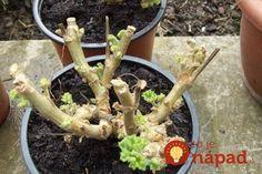 Opýtali sme sa skúsenej pestovateľky, ako sa o muškáty správne postarať tak, aby na jar opäť zakvitli do krásy a mali sme aj nové silné rastlinky.