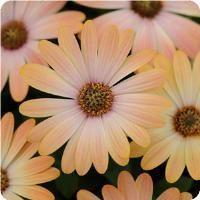 love daisies :) :)