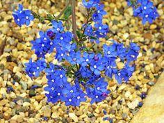 BUGLOSS-BLUE-ANGEL-Anchusa-Capensis-140-seeds-FLOWER