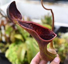 Nepenthes lowii has some of the most interesting looking pitchers in the genus…