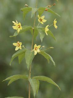 Whorled Loosestrife - Lysimachia quadrifolia