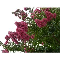 Lagerstroemia hybrids