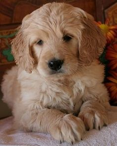 Cute Golden Retriever Puppy